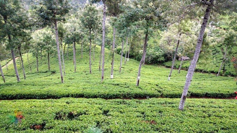 Çay tarlaları sri lanka