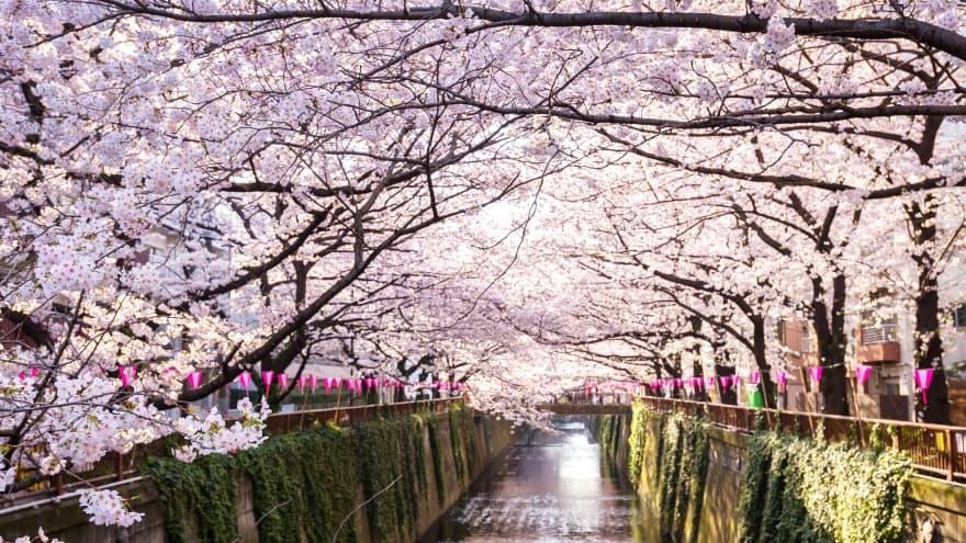 Tokyo'da ne yapılır? kiraz çiçekleri